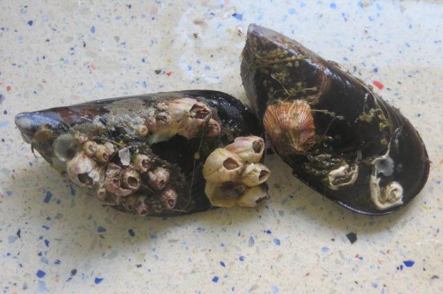 mejillones con restos en sus conchas