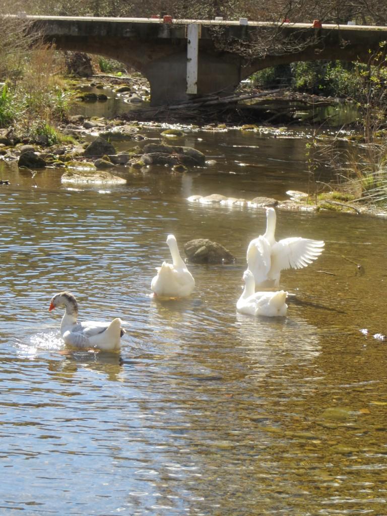 ocas y patos en el río Muga